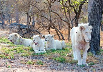 Motlala White Lions